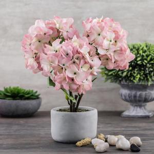Hydrangea in Cement Pot