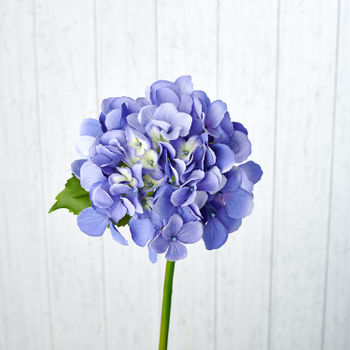 Blooming Blue Hydrangea Stem